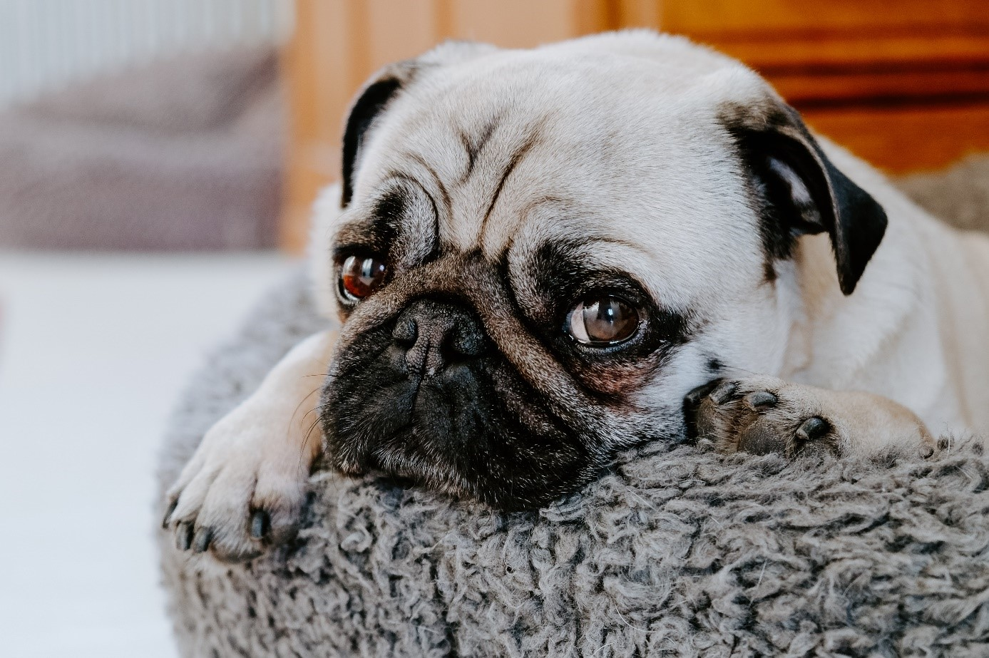 Hund erkrankte an einer Nahrungsmittelallergie, ich hatte der Royal Canin Hypoallergenic zu danken